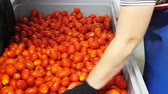 seçim : Red tomatoes on the processing line, manual cleaning is used