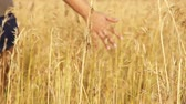 Close up of a girls hand touching wheat in summer field Стоковые видеозаписи