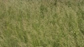 rüzgâr : Beautiful green grass waves moving in the wind. Natural meadow herb field background. Stok Video