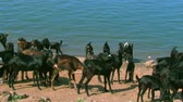 milk goat : Black Goats in the river, Group of goats going to drink water from the lake at nature. Stock Footage