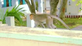 zoo : South asian moneky walking on the house exterior roof. Stock Footage
