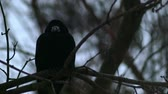 ruffled up : Bird is Sitting on a Bare Branches Tree, Winter, Cold Weather