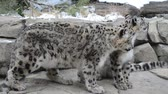 snarling : Two Beautiful Snow Leopards on a snow covered rocks