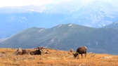 montanha : Couple Bighorn Rams Grazing in the Rocky Mountains Colorado Stock Footage