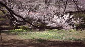 A Branch of a Blooming Cherry Tree Swaying in the Wind with Yellow Daffodil Flowers Blooming on the Ground