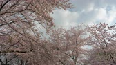 Looking up the sky and cherry blossoms