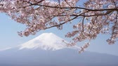 Mt. Fuji and Cherry Blossoms Swaying in the Wind