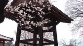 springtime : Temple Bell and Cherry Blossoms Swaying in the Wind