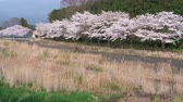 Mt. Fuji over Cherry Blossoms (Tilt Up)