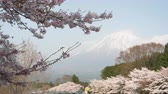 Mt. Fuji over Cherry Blossoms (transition focus)