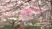Cherry Blossoms Swaying in the Wind Wideo