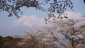 Mt. Fuji and Cherry Blossoms Shot in Shizuoka Prefecture, Japan