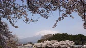 Cherry Blossoms and Mt. Fuji on a Sunny Spring Day