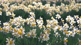white narcissus : Daffodil Flowers Swaying in the Wind Stock Footage