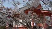 Cherry Blossoms Swaying in the Wind with a Defocused Buddhism Temple in the Background Wideo