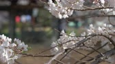Cherry Blossoms Swaying in the Wind (Close Up)