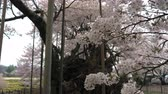 Jindaizakura, Oldest Cherry Tree in Japan