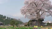 Snowy Mountains over a Big Cherry Tree in Full Bloom