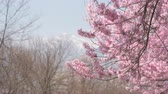 Cherry Blossoms Swaying in the Wind with a Snowy High Mountain in the Background