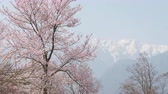 Cherry blossoms with a Snowy High Mountain in the Background Wideo