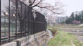 fence : Cherry Blossoms Falling in the Wind (Slow Motion) Stock Footage