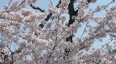Cherry Blossoms Falling in the Wind (Slow Motion) Wideo