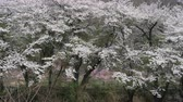 Cherry Trees Blooming in the Mountain