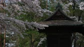Cherry Blossoms and a Shrine on the Shinpu Castle Ruin in Nirasaki City Wideo