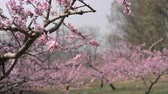 Peach Blossoms in an Orchard in Yamanashi Prefecture, Japan