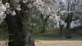 foco seletivo : Cherry Blossoms with a Family Relaxing in the Defocused Background Stock Footage