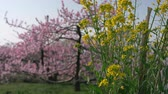 Canola Blossoms Swaying in the Wind with Peach Trees in the Background