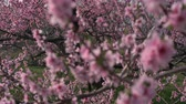 brzoskwinia : Peach Blossoms Swaying in the Wind at an Orchard