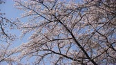 Cherry Blossoms Swaying in the Wind against the Blue Sky Wideo