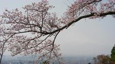 Mt. Fuji vaguely appearing in the hazy sky with cherry blossoms swaying in the foreground Wideo