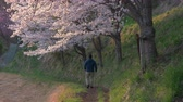в середине : A Man Walking Down a Footpath as Cherry Blossoms Swaying in the Wind