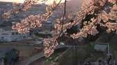 Cherry Blossoms Swaying in the Wind at Sunset with a Defocused Provincial City in the Background