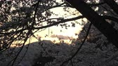 cherry blossom branch : Cherry Blossoms Swaying in the Wind at Sunset