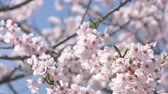 seletivo : Cherry Blossoms Swaying in the Wind on a Sunny, Spring Day Stock Footage