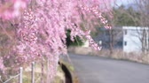 tam çiçeklenme : Weeping Cherry Blossoms Swaying in the Wind with a Defocused Country Road in the Background