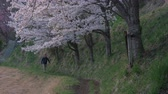 Япония : A Man Walking Up a Footpath as Cherry Blossoms Swaying in the Wind