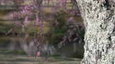 tam çiçeklenme : Weeping Cherry Tree in Full Bloom Swaying in the Wind in front of a Pond Stok Video