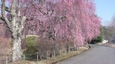cherry blossom branch : Weeping Cherry Trees Blooming by the Country Road