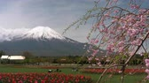 foco seletivo : Mt. Fuji over Red Tulip Flowers and Weeping Cherry Blossoms