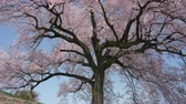 virág feje : Cherry Blossoms Swaying in the Wind: 300 year old Sakura Tree in Wanizuka, Nirasaki City