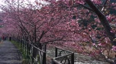 сакура : Blooming Cherry Trees along a River in Japan Стоковые видеозаписи