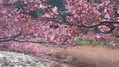 kwiat wiśni : Early Blooming Cherry Blossoms Swaying in the Wind (Racking Focus) Wideo