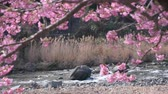 takje : Cherry Blossoms Swaying in the Wind with a River in the Background Stockvideo