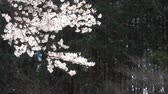 elszórt : Cherry Petals Dancing in the Wind (slo-mo)