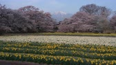 sunflower field : Snowy Mountains over a Beautiful Japanese Garden in Spring (time lapse) Stock Footage