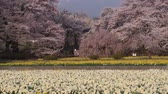 sunflower field : Snowy Mountains over a Beautiful Japanese Garden in Spring (tilt down)